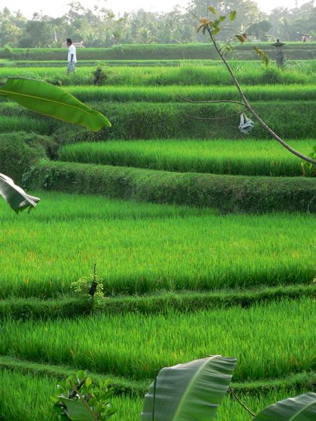 Rizières près d'Ubud