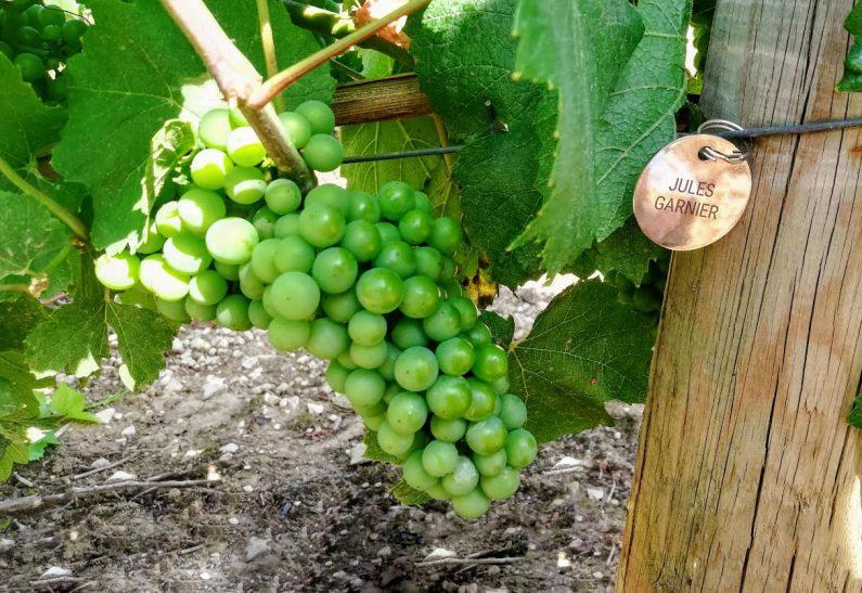 cuvée privée adoption vigne